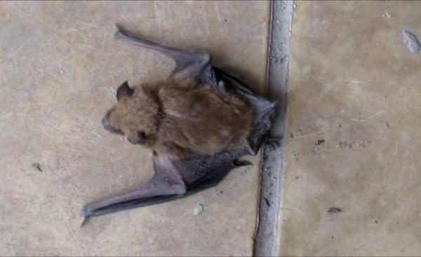 CHASCOMUS: Prevención ante la aparición de murciélagos